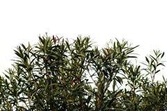Hojas del Oleander Fotos de archivo