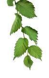 Hojas del olmo aisladas Ramifique con las hojas jovenes Imagen de archivo libre de regalías
