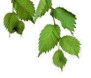 Hojas del olmo aisladas Ramifique con las hojas jovenes Fotografía de archivo libre de regalías