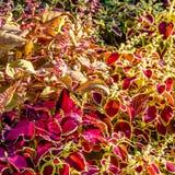 Hojas del ornamental de la planta del coleo Fotografía de archivo