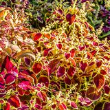 Hojas del ornamental de la planta del coleo Fotos de archivo
