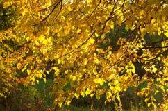 Hojas del oro del otoño Imagen de archivo libre de regalías