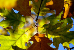 Hojas del otoño. Imágenes de archivo libres de regalías