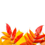 Hojas del otoño en el fondo blanco Imágenes de archivo libres de regalías