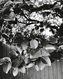 Hojas del patio trasero y x28; b&w& x29; imágenes de archivo libres de regalías