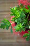 Hojas del Pelargonium El limón sospechó el Pelargonium - planta casera en maceta roja Foto de archivo