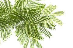 Hojas del pequeño acacia en un fondo blanco Fotografía de archivo