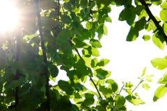 hojas del Pera-árbol Imagen de archivo libre de regalías