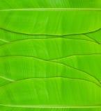Hojas del plátano Imagen de archivo