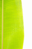 Hojas del plátano Imagenes de archivo