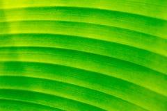 Hojas del plátano Imágenes de archivo libres de regalías