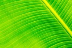 Hojas del plátano Imagen de archivo libre de regalías