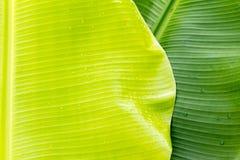 Hojas del plátano Foto de archivo