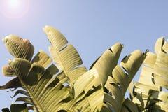 Hojas del plátano Foto de archivo libre de regalías