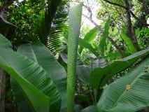 Hojas del plátano en el jardín Foto de archivo