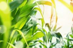 Hojas del primer del maíz Fotos de archivo