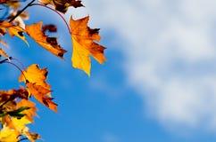 Hojas del árbol de arce del otoño contra el cielo Foto de archivo