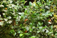 Hojas del árbol de mango Fotografía de archivo