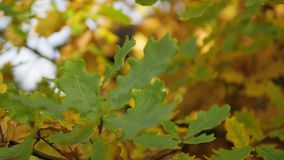 Hojas del roble amarillo en parque del otoño Cámara lenta almacen de video