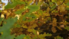 Hojas del roble amarillo en parque del otoño Cámara lenta almacen de metraje de vídeo