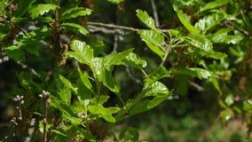 Hojas del roble de la familia del quercus en el viento apacible, sol de la primavera, 4K metrajes