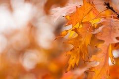 Hojas del roble del otoño Fotografía de archivo libre de regalías