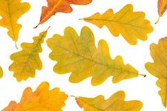 Hojas del roble del otoño aisladas en blanco Imágenes de archivo libres de regalías