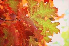 Hojas del roble del otoño Imagenes de archivo