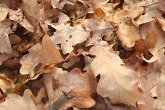 Hojas del roble en la alfombra amarilla de tierra Fotografía de archivo