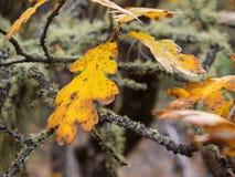 Hojas del roble en otoño Foto de archivo libre de regalías