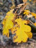 Hojas del roble en otoño Fotografía de archivo libre de regalías
