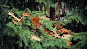 Hojas del roble en ramas spruce en otoño almacen de video