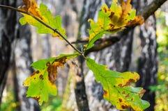 Hojas del roble del otoño en el fondo borroso Imagenes de archivo