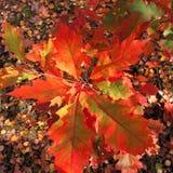 Hojas del roble del otoño en el sol Imagen de archivo
