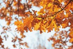 Hojas del roble del otoño en ramas de árbol imagen de archivo libre de regalías