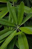 Hojas del rododendro Imágenes de archivo libres de regalías