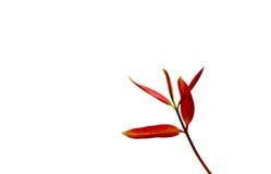 Hojas del rojo Foto de archivo libre de regalías