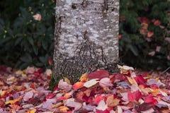 Hojas del rojo alrededor del tronco Foto de archivo libre de regalías
