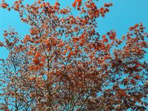 Hojas del rojo contra el cielo azul Imágenes de archivo libres de regalías