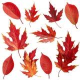 Hojas del rojo del otoño Fotografía de archivo libre de regalías