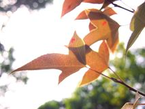 Hojas del rojo en árbol fotografía de archivo