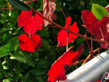 Hojas del rojo en el árbol Noviembre en California, los E.E.U.U. Foto de archivo