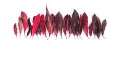 Hojas del rojo en el fondo blanco imagenes de archivo