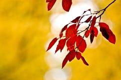 Hojas del rojo en el otoño Fotos de archivo