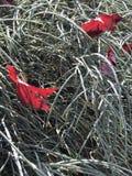 Hojas del rojo en hierba Fotografía de archivo libre de regalías