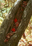 Hojas del rojo en hueco del árbol caido Imagen de archivo libre de regalías
