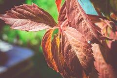 Hojas del rojo en jardín Imagen de archivo