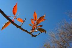 Hojas del rojo en la primavera Fotos de archivo