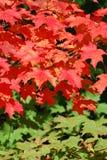 Hojas del rojo en un árbol de arce Fotos de archivo libres de regalías