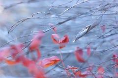 Hojas del rojo entre las ramas Imágenes de archivo libres de regalías
